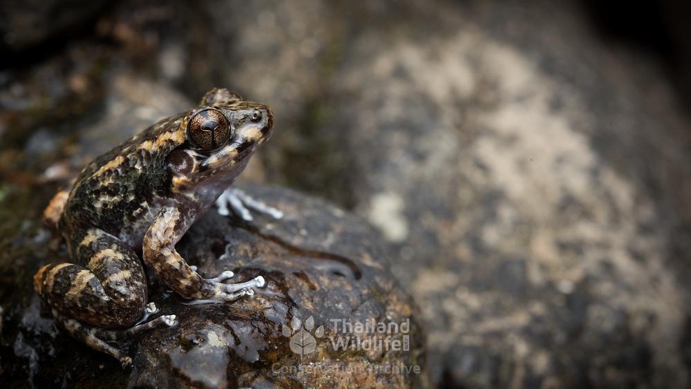 Tasan frog (Alcalus tasanae) in Lam Nam Kra Buri national marine park, Thailand