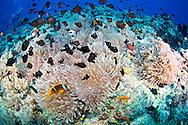 Clown fish-poisson clown (Amphiprion bicinctus), Red Sea, Soudan