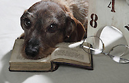 A Dachshund in the Studio, with it's head resting on an old Book, with reading glasses beside and a white painted small childrens Chair with numbers on.