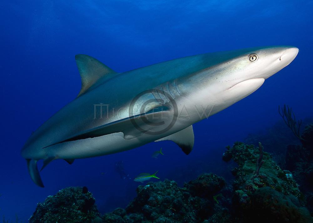 Bahamas; Sharks and dolphins; Caribbean reef shark (Carcharhinus perezi, often misspelled perezii) is a species of requiem shark, family Carcharhinidae.
