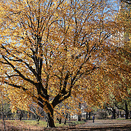 A golden Elm tree near the Reservoir in Central Park