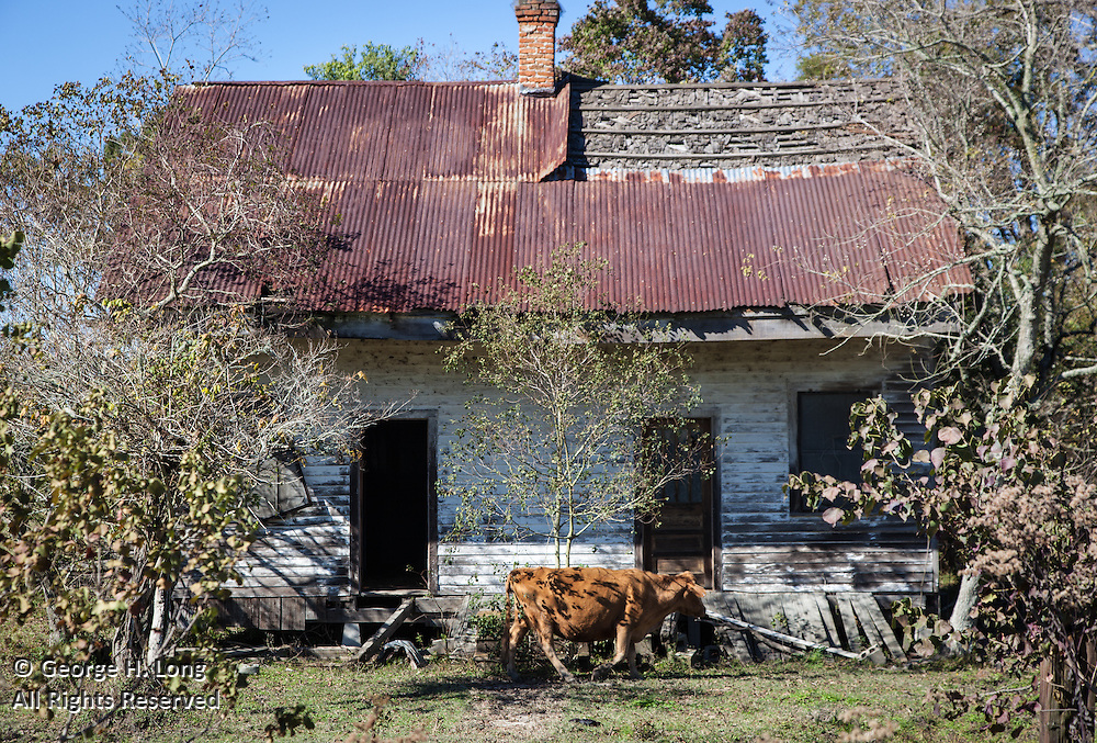 Cow grazes past abandoned home on River Road near Donaldsonville