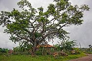 Tree and house in Chorro de Maita, Holguin, Cuba.
