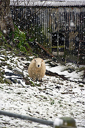Pictured: Texils and Scottish Grey Faces just get on with their lives<br /> <br /> Poor weather conditions are taken in their stride by animals and workers on the A701 between Broughton and Moffat. <br /> <br /> Ger Harley | EEm 23 February 2017