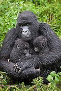 Mountain Gorilla<br /> Gorilla gorilla beringei<br /> Mother holding 5 month old twin babies<br /> Parc National des Volcans, Rwanda<br /> *Endangered species
