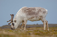 Svalbard Reindeer at Russebukta on Edgeoya in Svalbard, Norway.