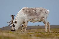Svalbard Reindeer at Russebukta on Edgeoya in Svalbard, Norway.