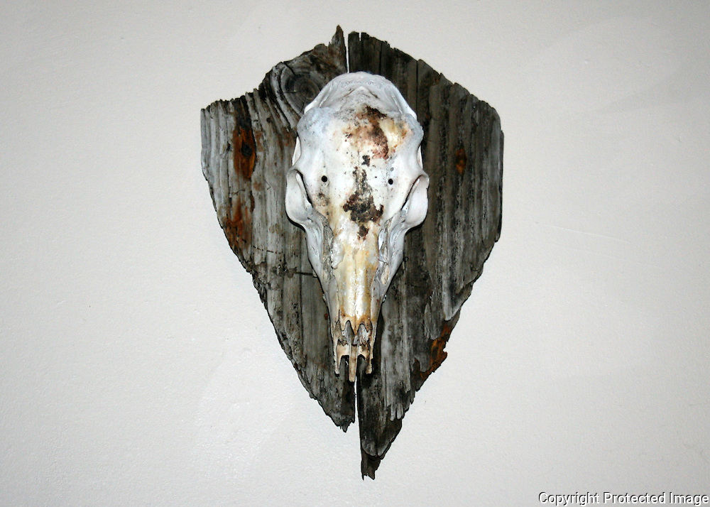 Lower view of skull of a whitetail buck, hornless with horn bumps on a plaque of driftwood from Jekyll Island Georgia.