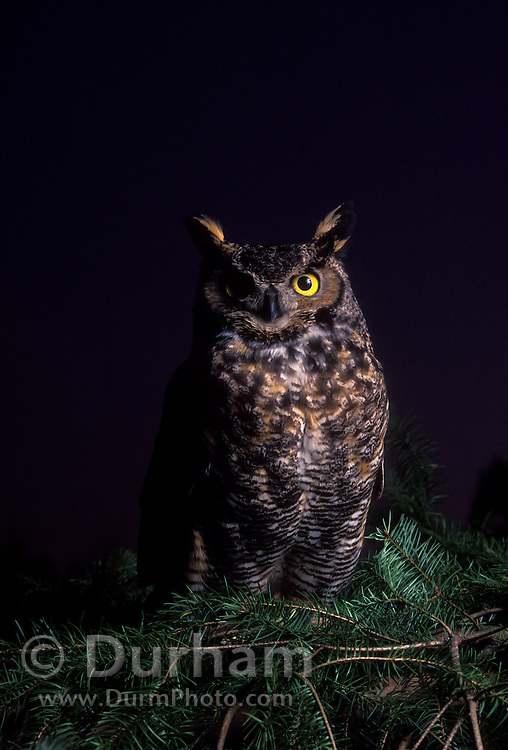 A great horned owl (Bubo virginianus) at dusk. Forest Park, Portland, Oregon. captive.
