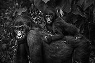 Weibchen des Östlichen Flachlandgorillas (Gorilla beringei graueri) mit ihrem Jungen auf dem Rücken, Kahuzi-Biega Nationalpark, Süd-Kivu, Demokratische Republik Kongo<br /> <br /> Female of the Eastern Lowland Gorillas (Gorilla beringei graueri) with her offspring on her back, Kahuzi-Biega National Park, South Kivu, Democratic Republic of the Congo