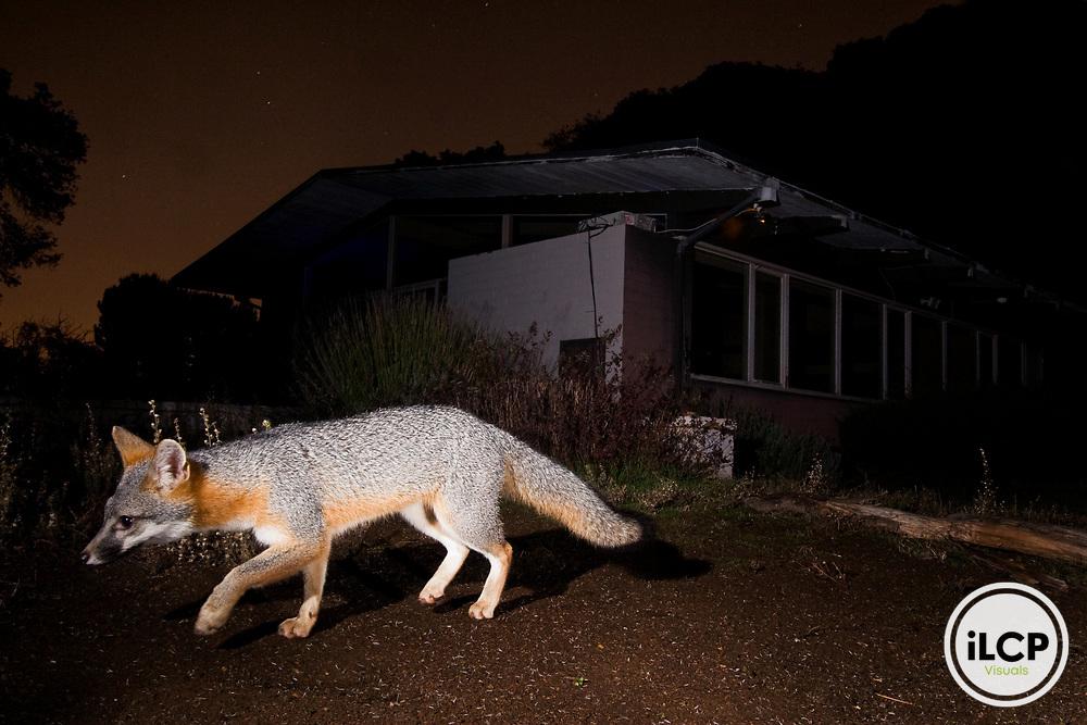 Gray Fox (Urocyon cinereoargenteus) walking in backyard at night, Los Altos, Bay Area, California