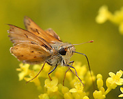 Image of a Skipper