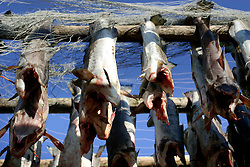 NORWAY LOFOTEN 27MAR07 - Detail view of stockfish (stokfisk) racks with cod hung to dry in Henningsvaer on the Lofoten islands...jre/Photo by Jiri Rezac..© Jiri Rezac 2007..Contact: +44 (0) 7050 110 417.Mobile:  +44 (0) 7801 337 683.Office:  +44 (0) 20 8968 9635..Email:   jiri@jirirezac.com.Web:    www.jirirezac.com..© All images Jiri Rezac 2007 - All rights reserved.