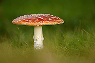 Fly Agaric (Amanita muscaria) fruiting body, growing in short grass, Norfolk, UK.