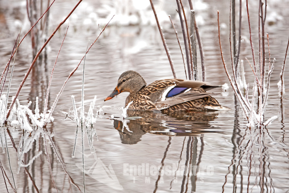 First of December 2016 this Hen Mallard takes time out searching a newly formed beaver pond for something to eat in the Lost Creek area in Northern Utah.