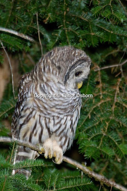 Barred Owl, fledgling
