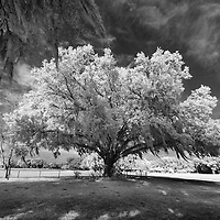Infrared photo Spanish moss on live oak tree, Florida