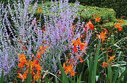 Perovskia atriplicifolia 'Little Spire' with Crocosmia 'Star of the East' at Great Dixter