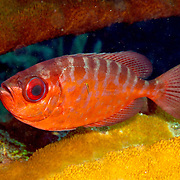 Glasseye Snapper inhabit shallow reefs, often drift in recesses,under ledges and other protected areas in Tropical West Atlantic; pucture taken Panama near San Blas Islands.