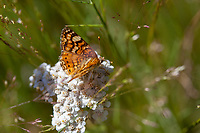 Phyciodes mylitta (Mylitta Crescent) ♀ at Bluff Lake Meadow, San Bernardino Co, CA, USA, on Yarrow 17-Jul-16