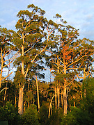 Sunrise turns trees orange in Tasman National Park, Tasmania, Australia.