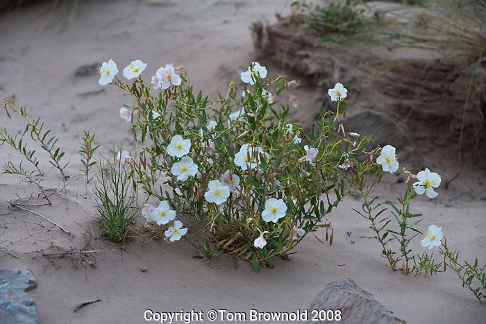 Evening Primrose ( Oenothera pallida)  in the sand along the Colorado river.