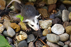 Raccoon, Opossum, Rabbit Royalty Free Stock Images