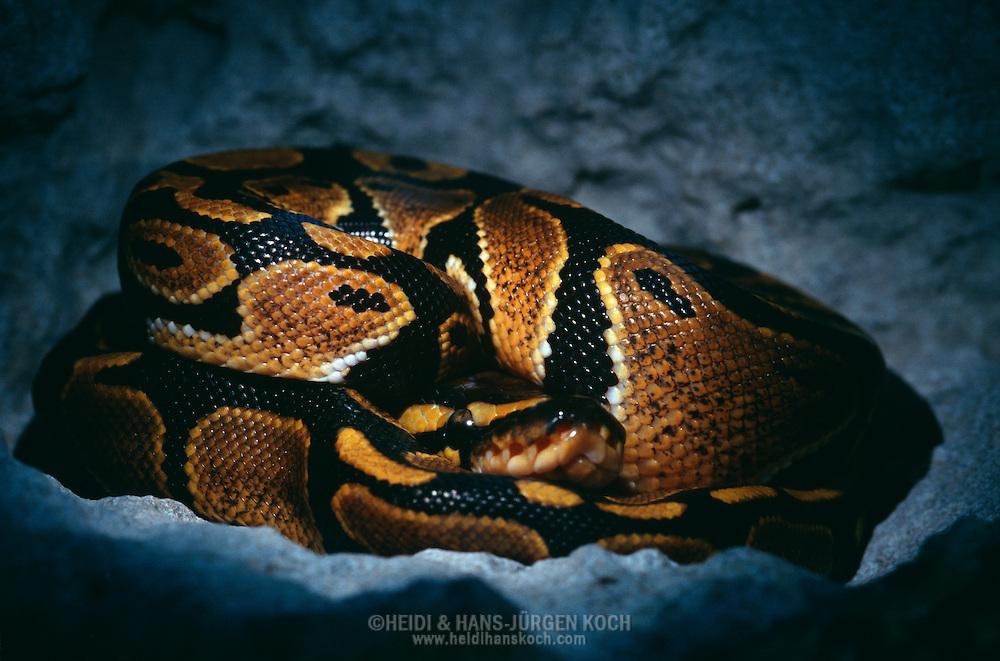 Schweiz: Schlange, Königspython (Python regius) liegt zusammengerollt in einer Höhle, eine Technik um die optimale Körpertemperatur  zu halten | Switzerland: Snake, Ball python (Python regius) laying rolled up in a cave, one technic to keep the body temperature at an optimum leve |