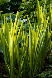 Backlit foliage of Iris pseudacorus 'Variegata' - Yellow flag iris