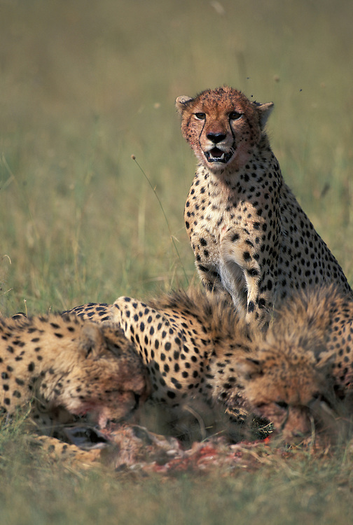 Kenya, Masai Mara Game Reserve, Family of Cheetah (Acinonyx jubatas) feed on Thomson's Gazelle (Gazella thomsonii)
