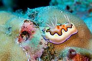 Alberto Carrera, Sea Slug, Dorid Nudibranch, Co's Chromodoris, Chromodoris coi, Bunaken National Marine Park, Bunaken, North Sulawesi, Indonesia, Asia