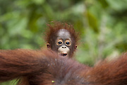 Bornean Orangutan <br /> Pongo pygmaeus<br /> One-year-old baby<br /> Tanjung Puting National Park, Indonesia