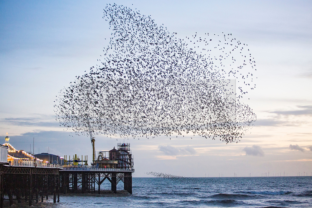 © Licensed to London News Pictures. 17/01/2018. Brighton, UK. Starlings murmuring at sunset over the Brighton Palace pier today January 17th 2018. Photo credit: Hugo Michiels/LNP