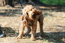 © Licensed to London News Pictures. 27/08/2019. London, UK. A dog cooling off in Finsbury Park, north London as the hot weather continues. Photo credit: Dinendra Haria/LNP