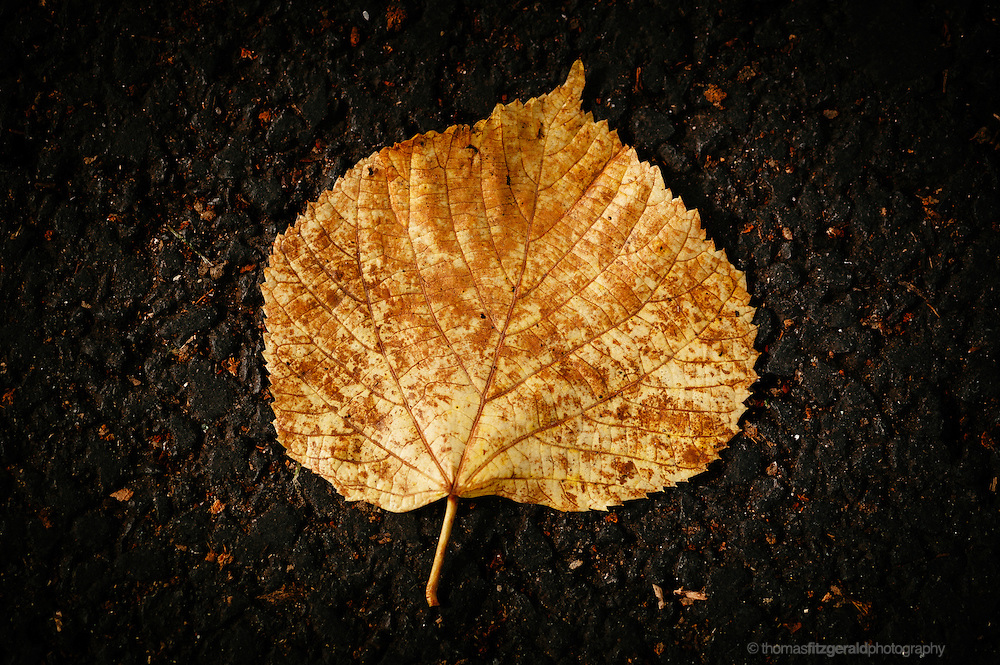 A dark background and a single brown and yellow Autumn leaf / fall leaf