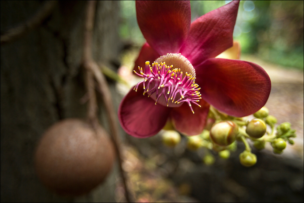Cannonball tree flower at Foster Botanical Garden in Honolulu, HI. Cannonball seen in background. ©PF Bentley