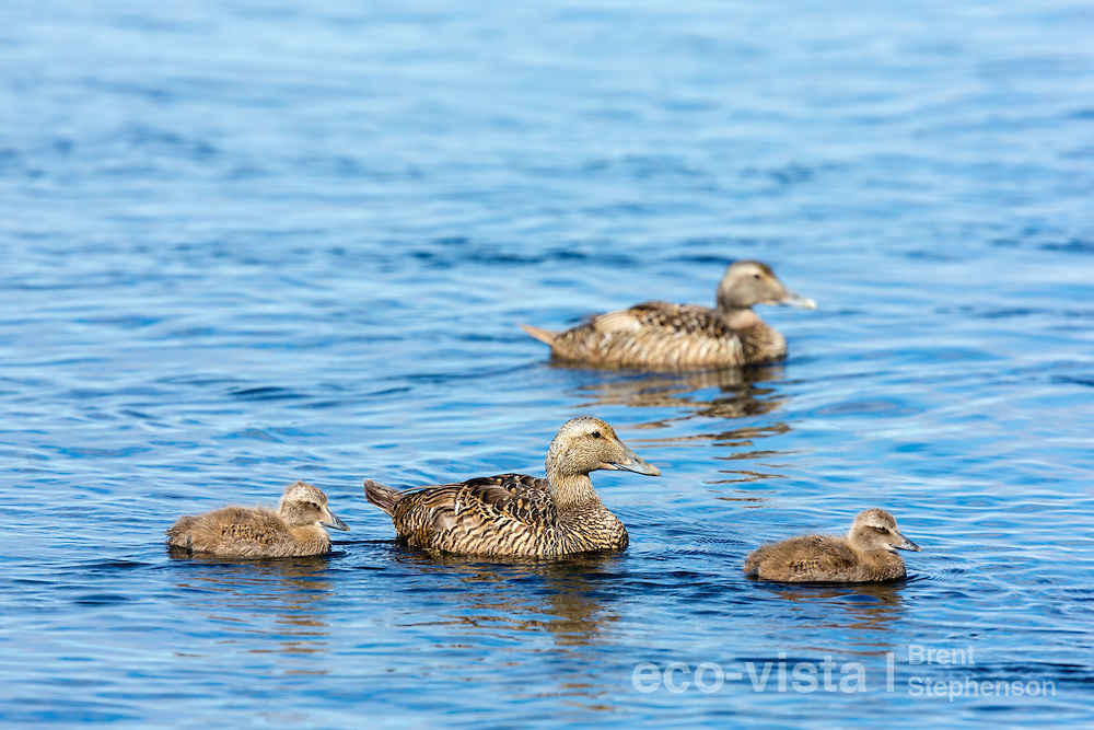 A female common eider (Somateria mollissima) with ducklings swims across the waters surface. Flatey, West Fjords, Iceland. July.