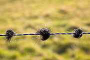 Cattle hair caught on barbed wire fence in Oxfordshire  field, Bruern, The Cotswolds, United Kingdom