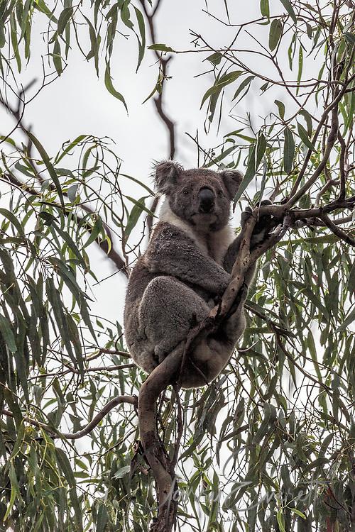 Koala in gum tree on a rainy morning