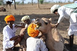Traveling men doing annual sharing of camels. Photo taken while traveling in Rajasthan, India, with Steve McCurry.