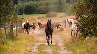 Black colt leads herd of horses running toward camera, as dust rises from their hooves. Spring Lake Ranch, BC, Canada