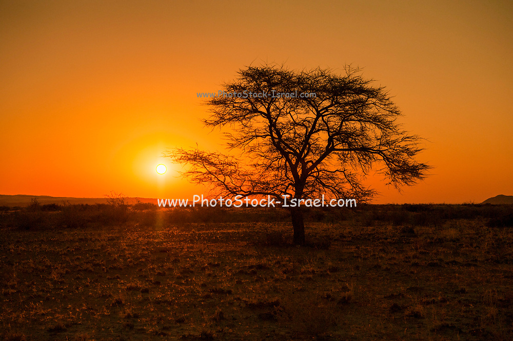 Camel Thorn Acacia tree (acacia erioloba) at sunset alongside a dune in Sossusvlei, Namib-Naukluft National Park, Namibia, Southern Africa.