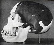Model of skull of Piltdown man (Eanothropus dawsoni) as reconstructed by Dr Smith Woodward. Dark areas are from the original fossil, the light are the restored areas. Most of the lower jaw restored on far side. From 'Scientific American' 7 November 1914.