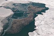 Canvasbacks, Aythya valisineria, Detroit River, Michigan