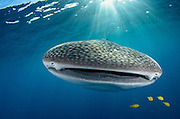 Whale Shark (Rhincodon typus) &amp; Golden Trevally (Gnathanodon speciosus)<br /> Cenderawasih Bay<br /> West Papua<br /> Indonesia