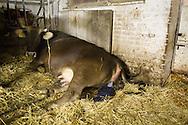 SCHWEIZ - MEISTERSCHWANDEN - Eine Kuh bringt ein Kalb zur Welt, hier die geplatzte Fruchtblase - 06. Februar 2017 © Raphael Hünerfauth - http://huenerfauth.ch
