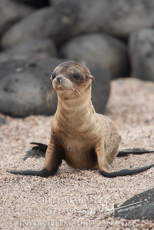 A Galapagos sea lion cub rests on a beach on North Seymour island, Ecuador.