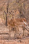 Impala, Kruger, Africa