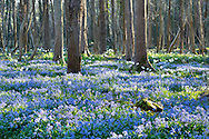 Drift of Scilla bithynica with Narcissus 'Thalia' naturalised in woodland