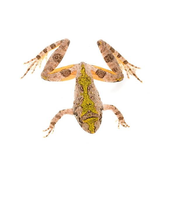 Northern Cricket Frog (Acris crepitans)